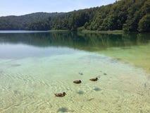 Trois canards nageant autour Photographie stock