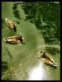 Trois canards nageant dans le lac images stock