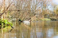 Trois canards sauvages de canard dans un étang Images stock