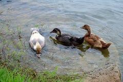 Trois canetons nagent près de Shoreline recherchant le petit déjeuner photographie stock libre de droits
