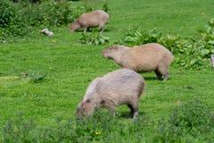 Trois capybaras frôlant sur l'herbe courte image stock