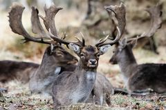 Trois cerfs communs Image libre de droits
