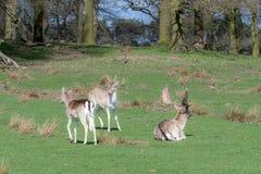 Trois cerfs communs affrichés détendent dans un domaine images stock