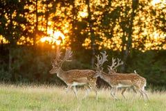 Trois cerfs communs affrichés marchant sur l'herbe dans le coucher du soleil Photographie stock