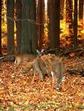 Trois cerfs communs au coucher du soleil photographie stock