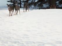 Trois cerfs communs dans la neige Photographie stock
