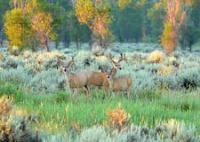 Trois cerfs communs de mule pendant le début de la matinée s'allument en parc national grand de Teton Photo stock