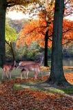Trois cerfs communs en parc d'automne Photo stock