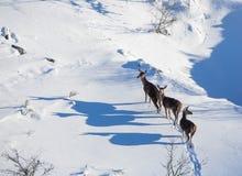 Trois cerfs communs rouges femelles dans la neige Photographie stock libre de droits
