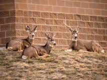 Trois cerfs communs se trouvant sur l'herbe Photographie stock