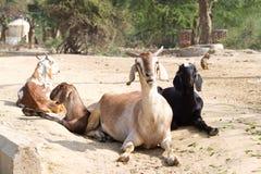 Trois chèvres Photographie stock libre de droits