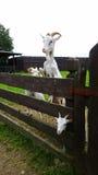Trois chèvres photo libre de droits