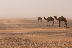 Trois chameaux marchent par le désert de Chebbi d'erg par une tempête de sable, Maroc photographie stock