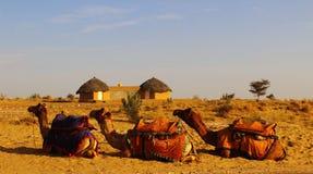 Trois chameaux se reposant avant tour dans le désert Photographie stock