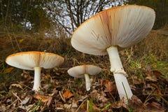 Trois champignons d'agaric de mouche Images stock