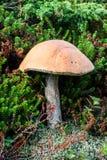 Trois champignons dans le plan rapproché d'herbe au jour d'été Images libres de droits