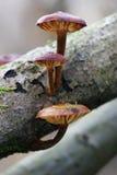 Trois champignons de couche d'arbre Image libre de droits