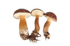 Trois champignons frais de forêt (badius de boletus) d'isolement sur le blanc Images stock