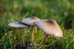 Trois champignons humides au champ avec la lumière chaude photographie stock