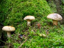 Trois champignons pâles images libres de droits
