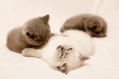 Trois chatons photos stock