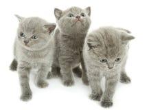 Trois chatons au-dessus de blanc Photographie stock