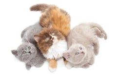 Trois chatons britanniques Photos stock