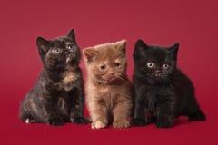Trois chatons britanniques Images libres de droits