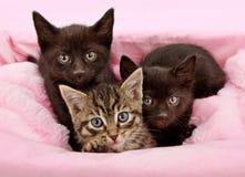 Trois chatons dans un panier rose et blanc Photo libre de droits
