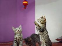 Trois chatons domestiques métis jouent avec un jouet photographie stock