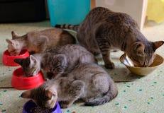 Trois chatons mangeant de la nourriture dans la cuvette de chat avec le grand chat ou le chat et la lumière du soleil de maman pe Photographie stock libre de droits