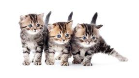 Trois chatons ont barré le tabby d'isolement Photos libres de droits