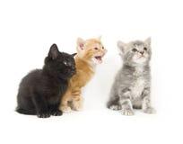 Trois chatons sur un fond blanc Photos libres de droits
