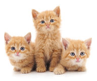 Trois chats rouges Image stock