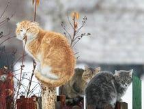 Trois chats se reposent dans le village sur la barrière au printemps pendant la neige Photographie stock libre de droits