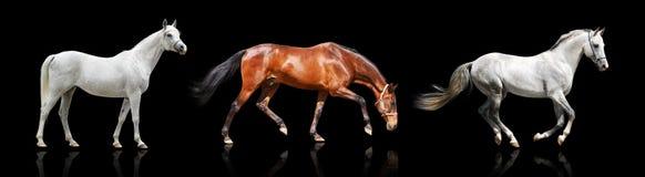 Trois chevaux d'isolement Photos stock
