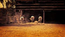 Trois chevaux dans la ferme Image stock