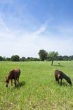 Trois chevaux dans un domaine photo libre de droits