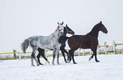 Trois chevaux de différentes couleurs fonctionnant dans le pré Images stock