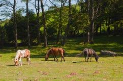 Trois chevaux de Pottok frôlant dans la forêt images stock