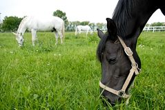 Trois chevaux mangeant l'herbe dans le pré Photos libres de droits
