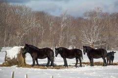 Trois chevaux noirs mangeant dans l'hiver Image libre de droits