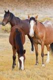Trois chevaux sauvages Photographie stock libre de droits