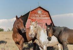 Trois chevaux se tenant devant une vieille grange Images stock