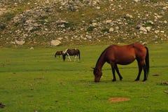 Trois chevaux sur un pré alpestre Photographie stock libre de droits