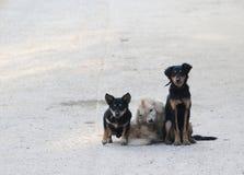 Trois chiens Photographie stock