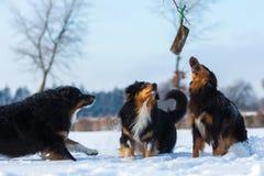 Trois chiens dans la neige Photographie stock