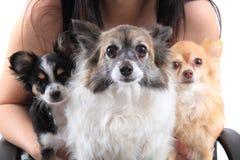 Trois chiens de chiwawa se reposent Images libres de droits