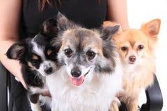 Trois chiens de chiwawa se reposent Images stock