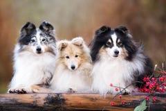 Trois chiens de sheltie dehors en automne Images libres de droits